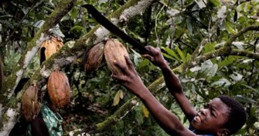 A dark-skinned child harvesting cocoa human rights.